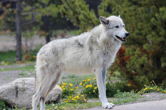 Yellowstone White Wolf Was Shot 5 000 Reward Offered